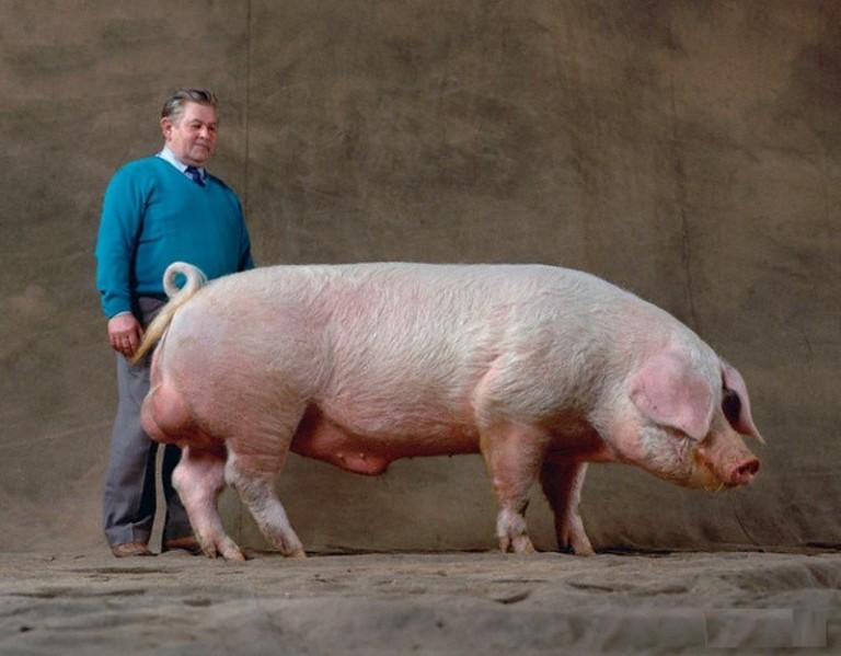 Свиньи могут достигать огромных размеров и площади для жизни им нужны соответствующие