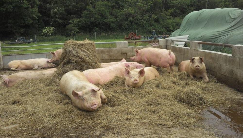 Свиньи на выгуле