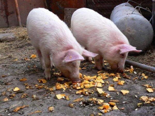 Свиньи охотно употребляют влажные корма
