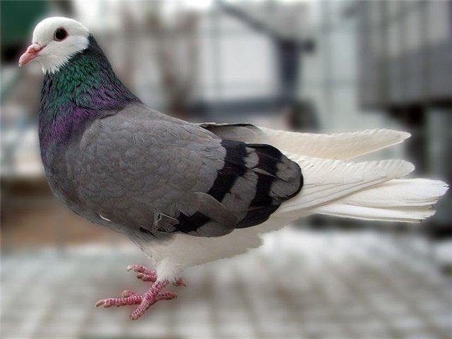 Сизый голубь с необычной расцветкой