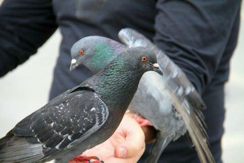 Сизых голубей легко приручить