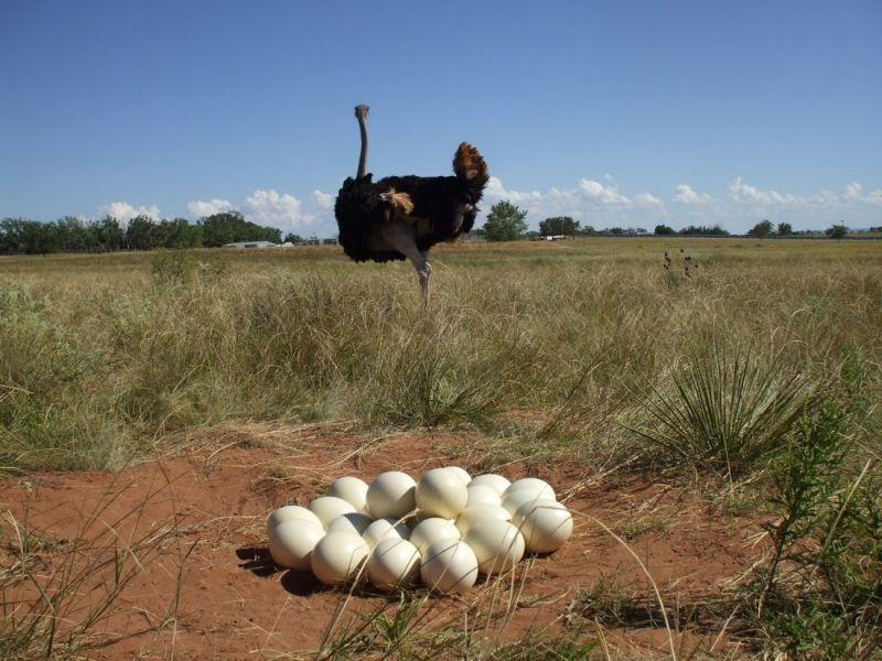 Сколько весит страусиное яйцо?
