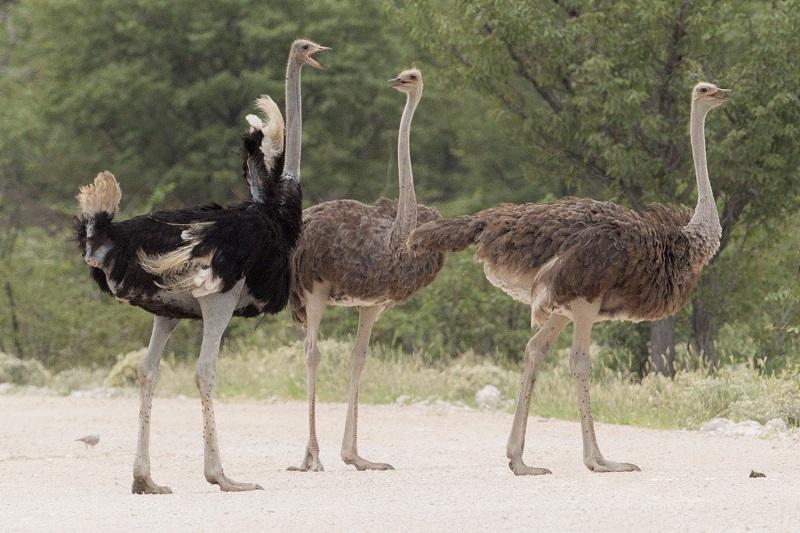 Сколько весит страус?
