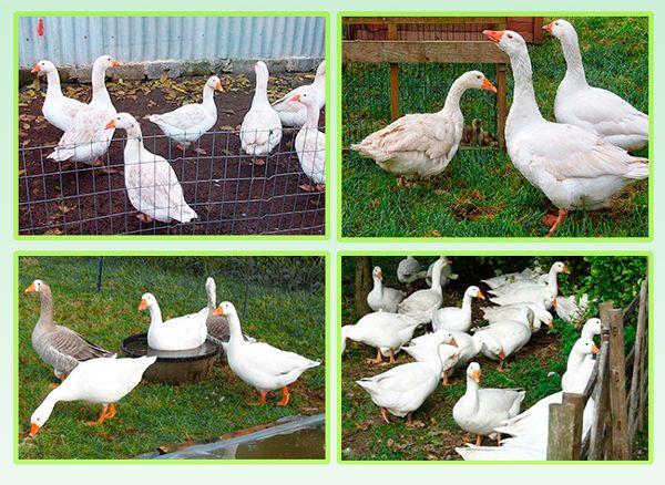 Сколько живут гуси? Что влияет на продолжительность их жизни?