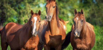 Сколько живут лошади