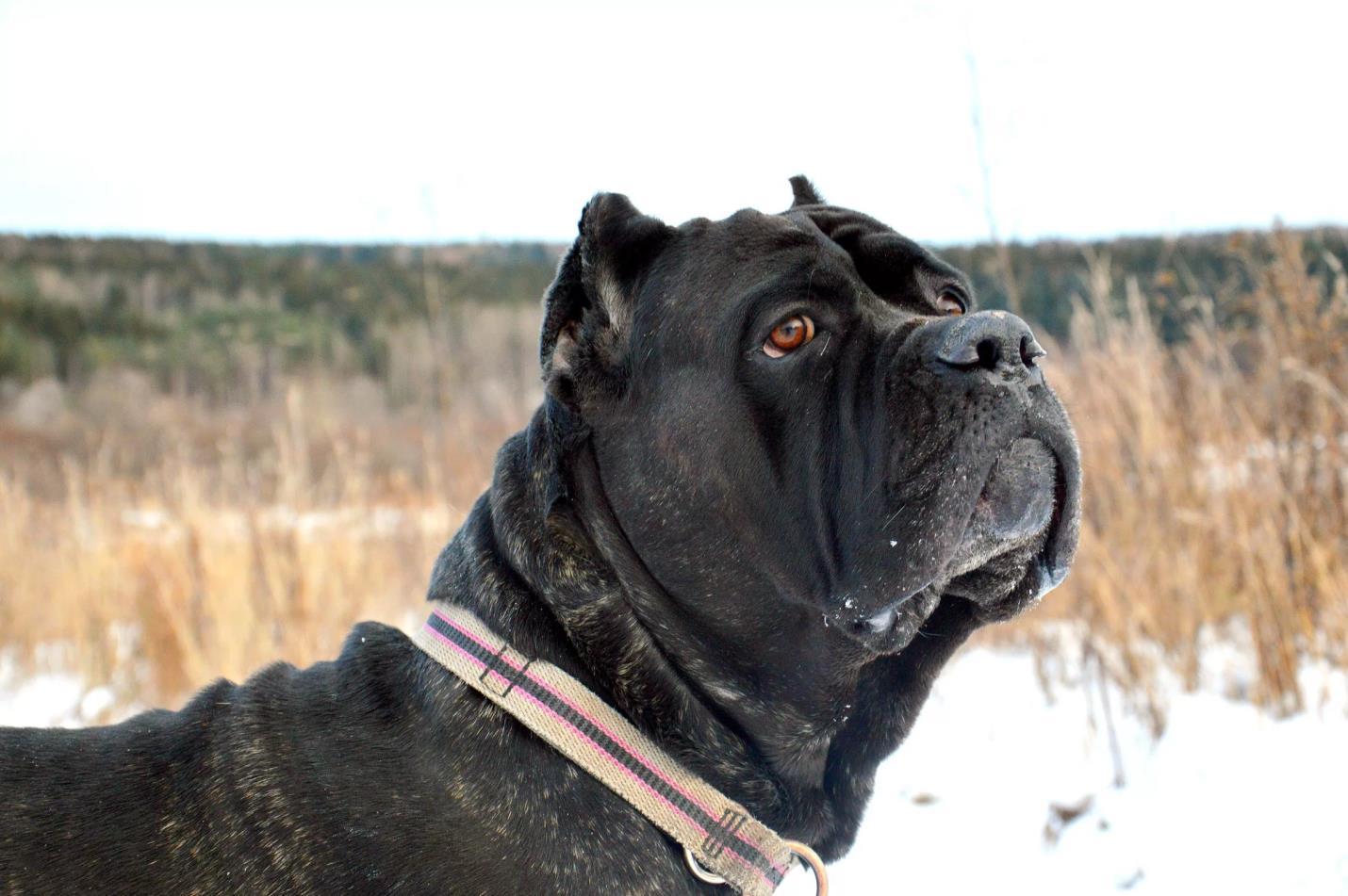 Собак этой породы издавна использовали в поединках