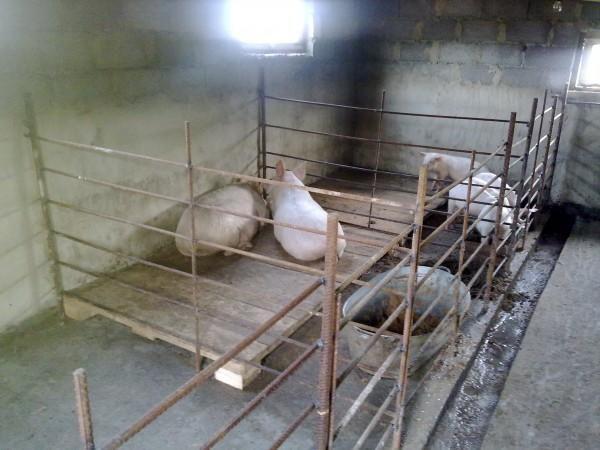 Солнечный свет необходим для продуктивности свиней