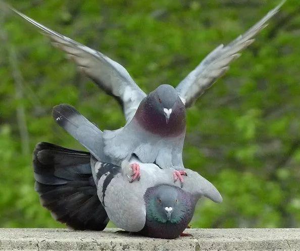 Спаривание сизых голубей