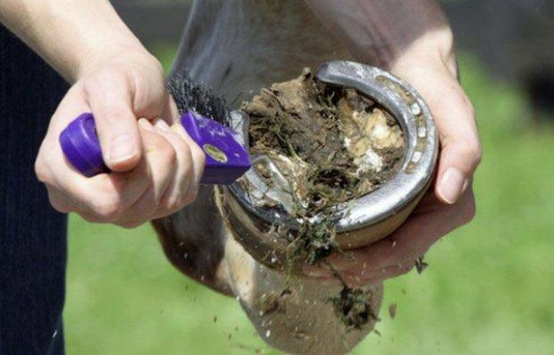 С помощью специального ножа из копыта лошади вычищают грязь