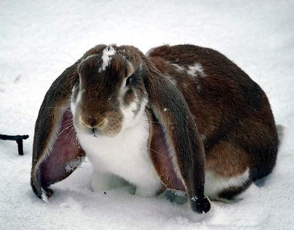 Уши английских кролей не только длинные, но и весьма широкие