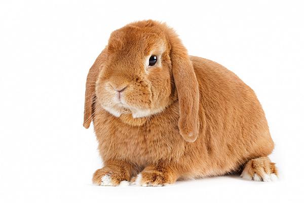Ушной хрящ «баранов» мягкий и не выдерживает веса ушей