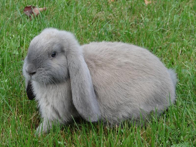 Французский кроль окраса «изабелла»