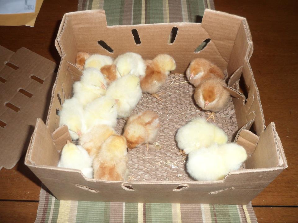 Цыплят не должны продувать сквозняки