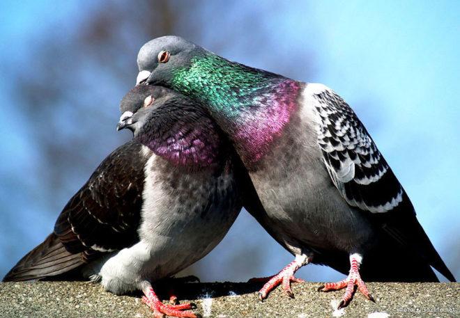 Чаще всего в природе встречается сизый голубь