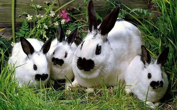 Чтобы получить породистых крольчат, скрещивают чистопородных родителей