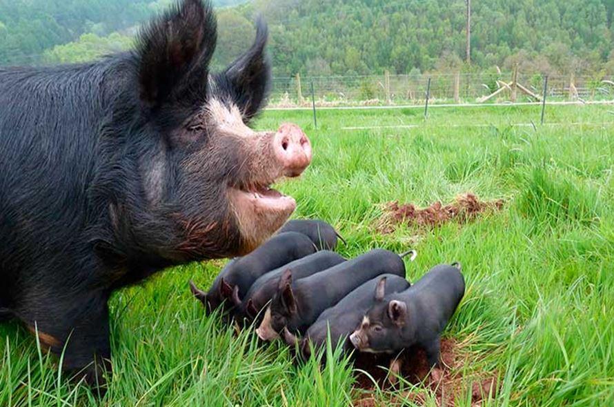 Чтобы свиньи хорошо набирали вес и могли размножаться, им требуются минимальные условия