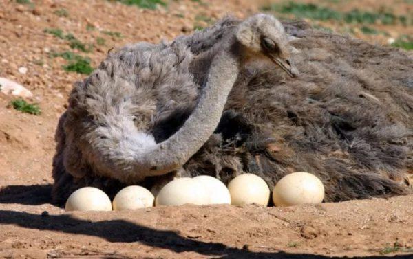 Сколько весит яйцо страуса
