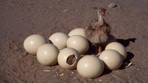 Птенец страуса выбивает скорлупу ногами, поскольку для расклёвывания она слишком толстая