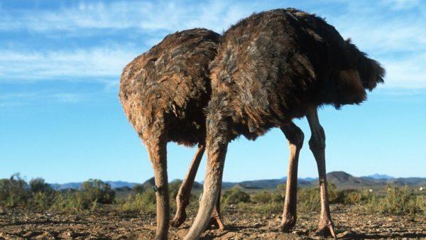 Часто страусы отдыхают, упершись головой в землю