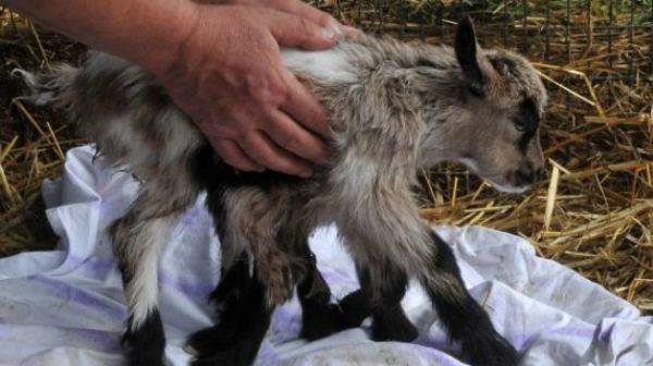 Позаботьтесь о новорожденном козленке