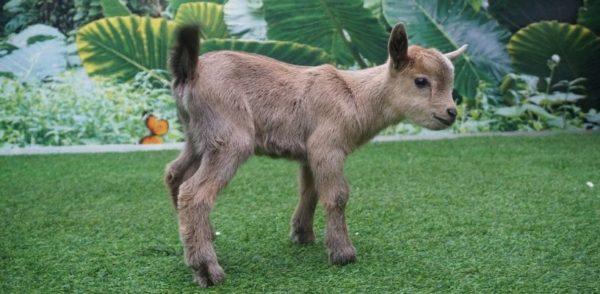 Новорожденный козленок, отлученный от матери