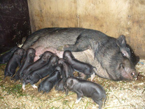 Вьетнамская свиноматка с потомством