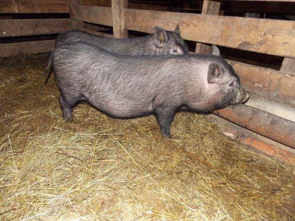 Загон для свинок