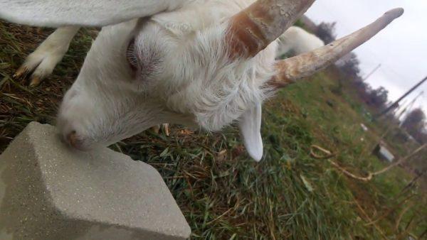 Соль-лизунец для козлят