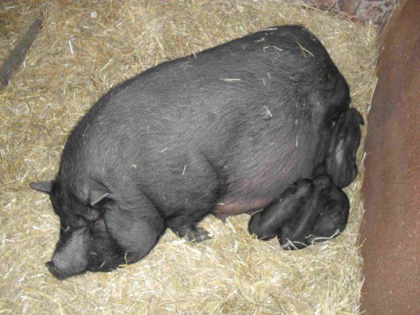 Свиноматка с приплодом