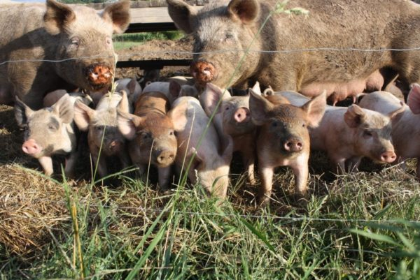 Разведение свиней, как бизнес