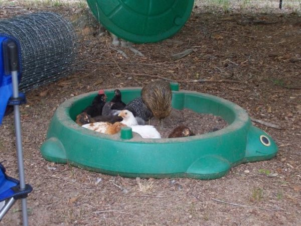 Зольная ванна для кур в пластиковой детской песочнице