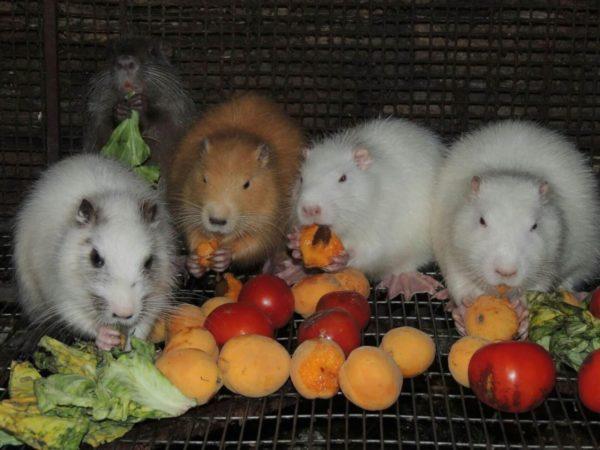 Нутрии прекрасно едят фрукты и овощи