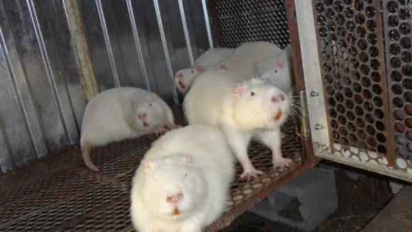 Разведение нутрий в клетке