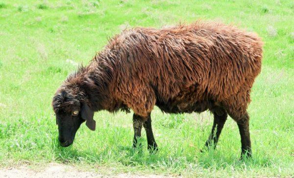 Эдильбаевская овца