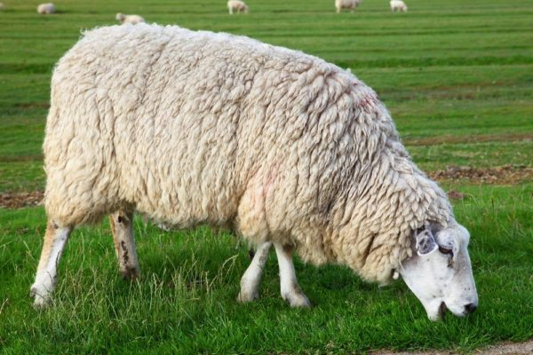 Куйбышевская овца