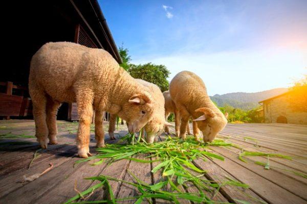 Овцы едят траву