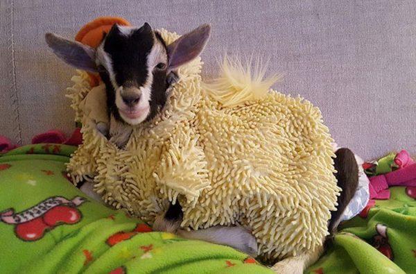 Новорожденному козленку нужно тепло