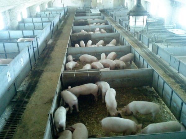 Промышленное разведение свиней