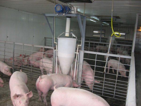 Организация кормления свиней на фермах