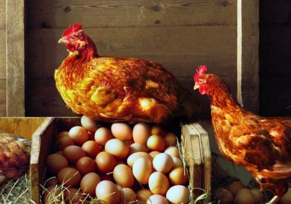 Несушек можно отучить от расклева яиц