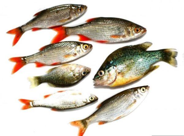 Рыба обеспечит организм белком