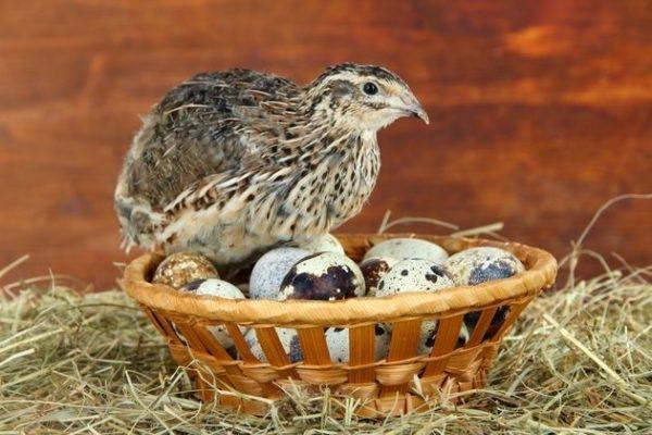 Перепелки - высокопродуктивные птицы