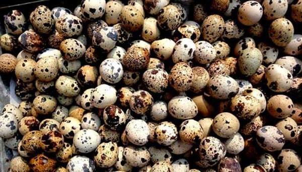 Добиться рекорда яйценоскости можно хорошим содержанием птиц, а также их правильным кормлением