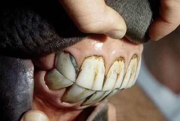 Поверхность лошадиных зубов одета в складки сверхпрочной эмали