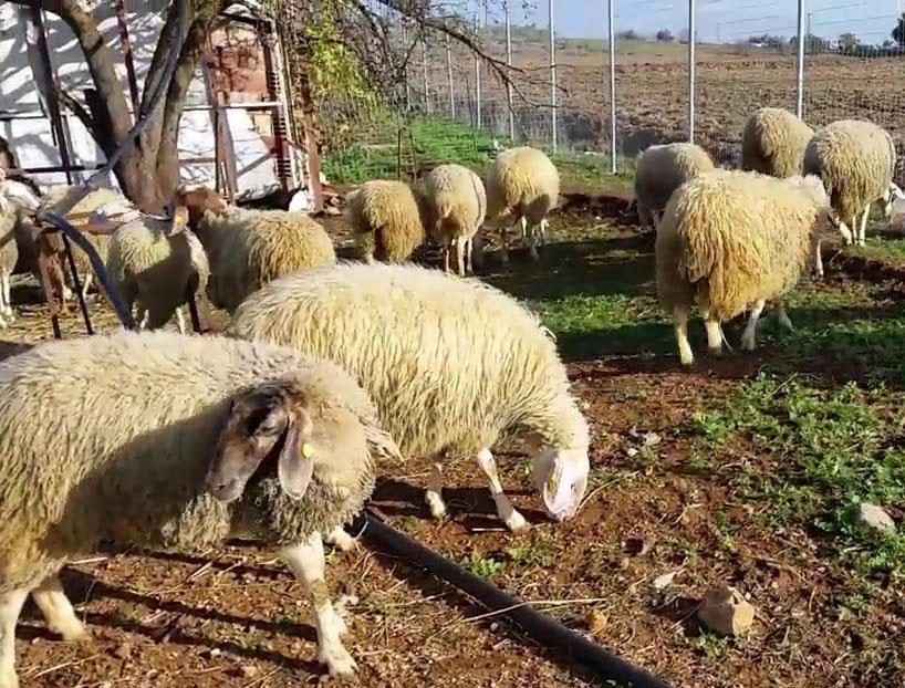 Ассаф — результат союза остфризской овцы и авасси