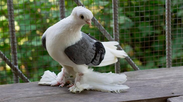 Бакинских голубей разводили в Иране 200 лет назад