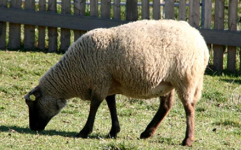 Беременные овцы нуждаются в определенном рационе питания