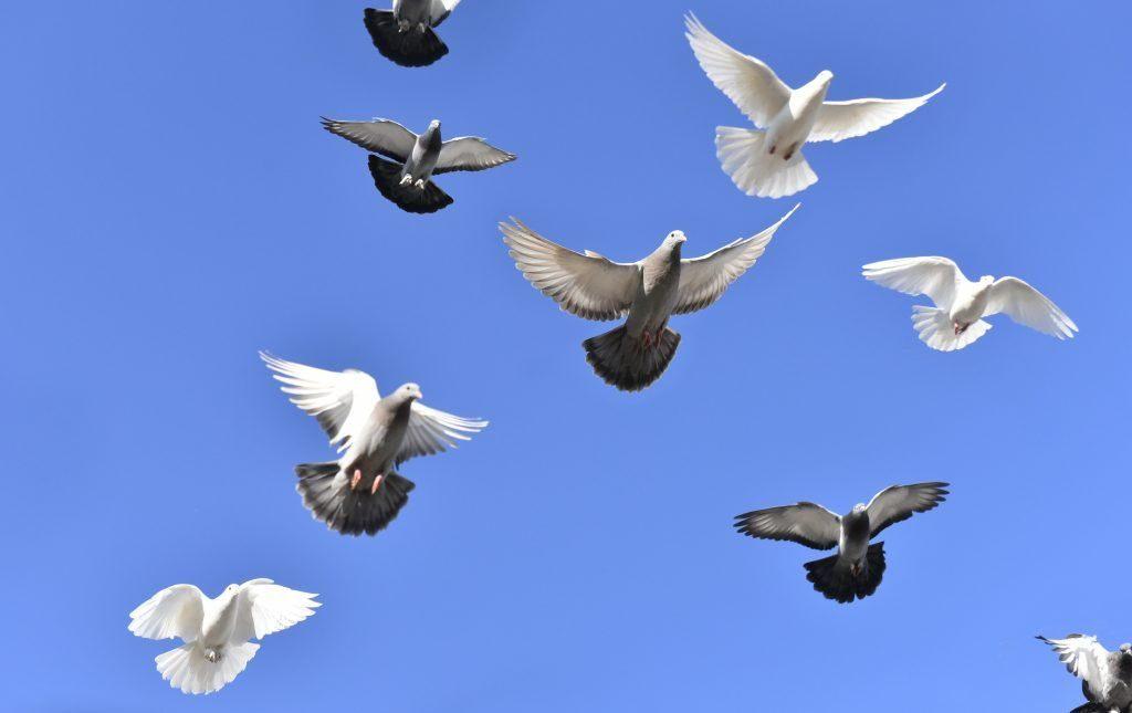 Бойными бакинцев называют из-за особенностей полета с характерными щелчками крыльев