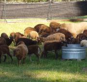 Большую часть времени овцы должны проводить на выпасе