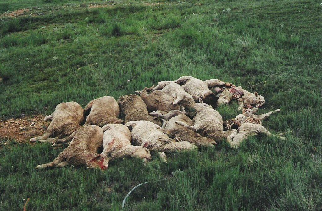 Брадзот может постигнуть овец еще на пастбище